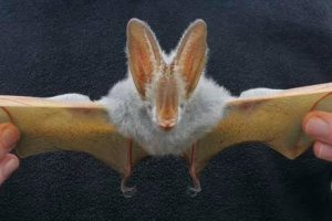 Yellow-winged bat