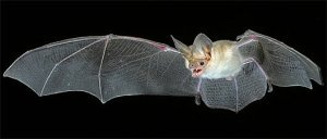 Small hog-nosed bat