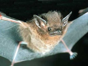 Thomas's sac-winged bat