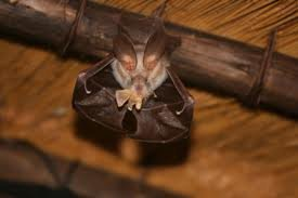 Egyptian slit-faced bat