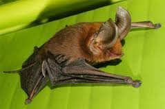 Madagascan sucker-footed bat