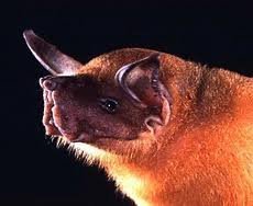 Greater bulldog bat