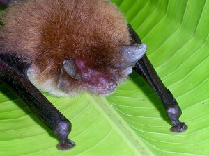 Spix's disk-winged bat
