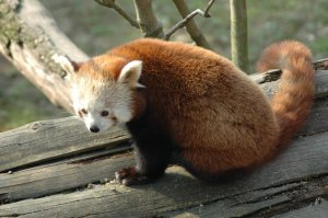 Rosso red panda