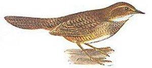 Atrichornis clamosus