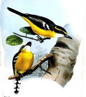 Macaerirhynchus flaviventer