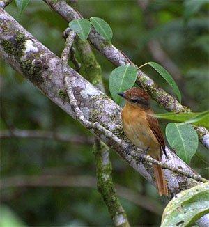Pachyramphus castaneus