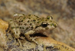 Iberian Parsley Frog