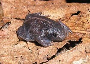Rhinophrynus dorsalis