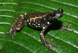 Tukeit Hill Tree Frog