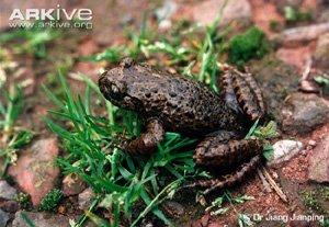 Oreolalax omeimontis