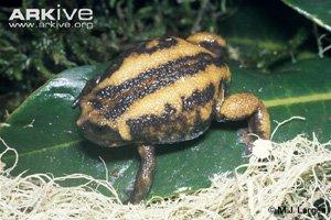 Balebreviceps hillmani