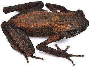 Ansonia leptopus