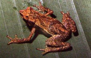 Dendrophryniscus berthalutzae