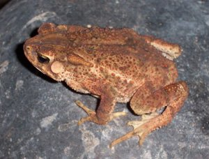 Bufo biporcatus
