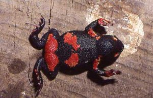 Melanophryniscus atroluteus