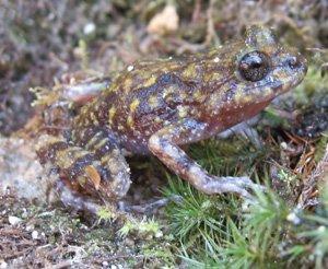 Cycloramphus eleutherodactylus
