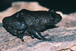 Nyctibatrachus