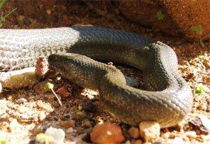 Lycodonomorphus rufulus