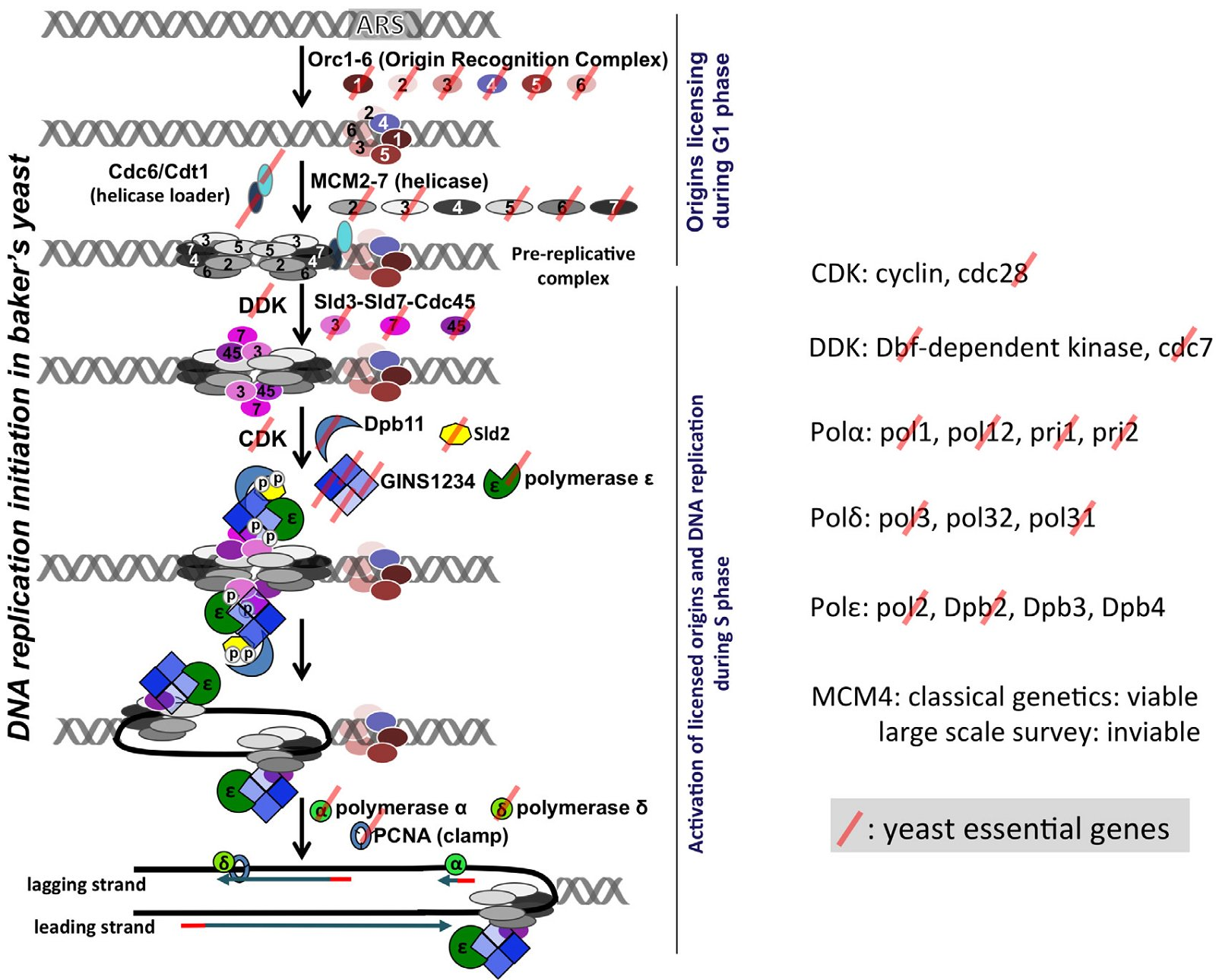 Information processing differences between archaea and eukarya most yeast dna replication genes are essential for the viability of the yeast cell left a schematic view of the steps involved in dna replication ccuart Images