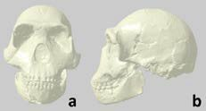 Homo naledi skull 3D mesh image