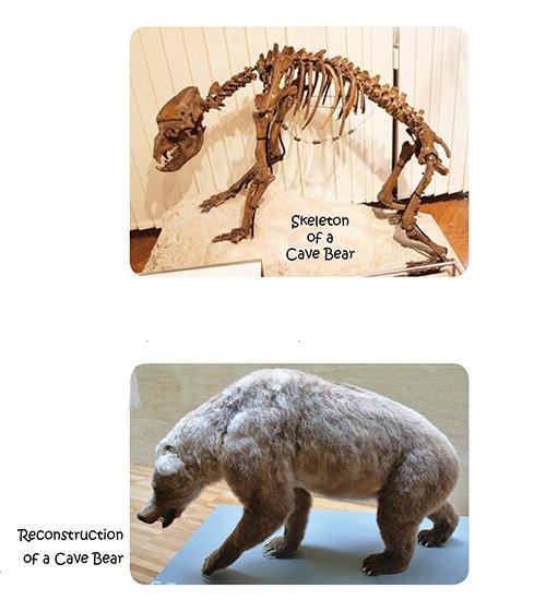 Cave Bear Fossil