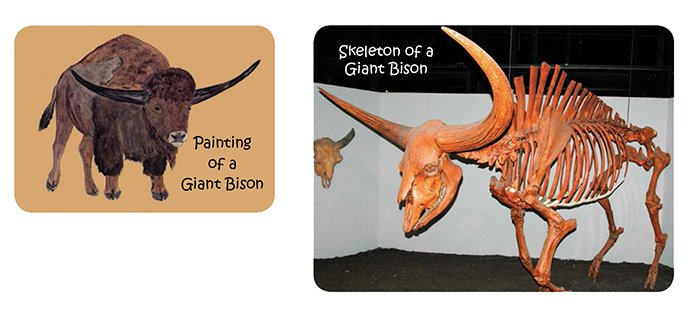 Giant Bison Fossil