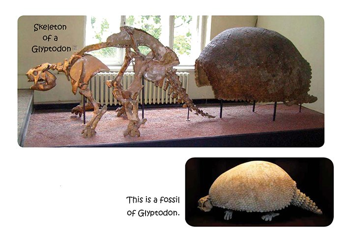 Glyptodon Fossil