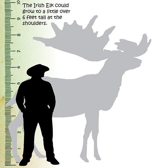 Irish Elk Size