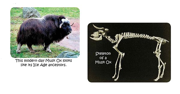 Musk Ox Fossil