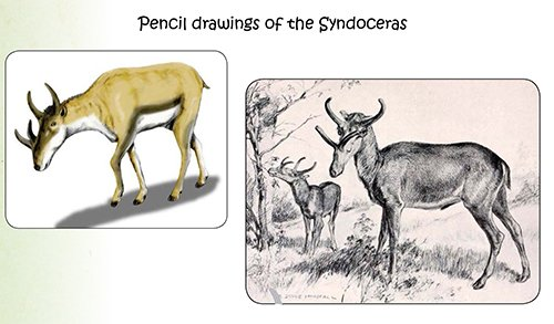 Syndoceras Drawings