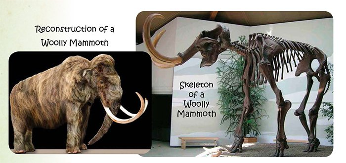 Wooly Mammoth Skeleton