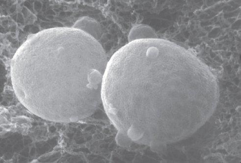 Bacterium Micrograph