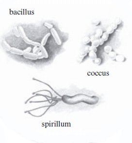 Basic Bacteria Shapes