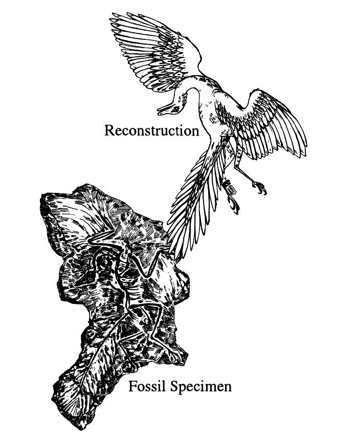 Reconstruction vs. Fossil Specimen