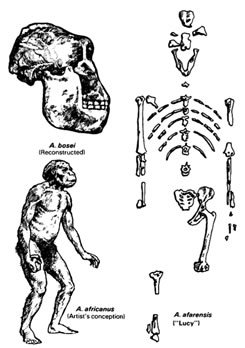 Drawings of various Australopithecines
