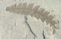 Fossil Comptonia