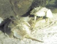 Living Horseshoe crabs