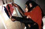 Gypsy, the chimp, painting