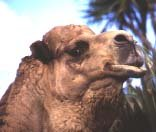 Camels—confirmation of creation