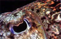 Cuttlefish eye, close-up