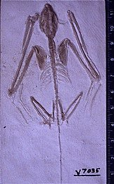 Icaronycteris, the oldest bat according to evolutionary dating methods