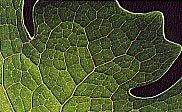 Leaf photo by Tom Wagner