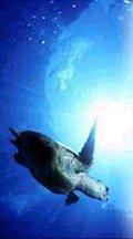 marine turtle in sea