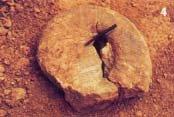 Ammonite index fossil