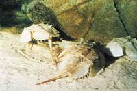 Horseshow crab