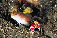Shrimp and goby