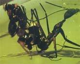 Honeypot Ant (Leptomyrmex)