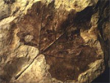 Fossil leaf of plane tree
