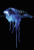 Portugese man-o'war